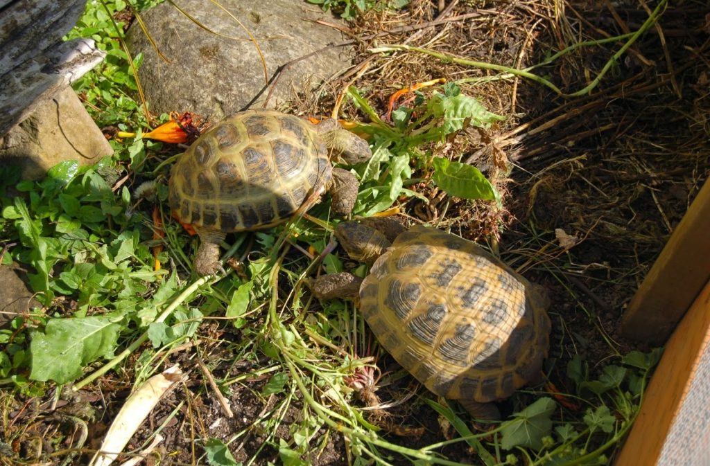 Bedding for Russian Tortoise outsite